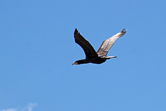 Cormorant (Ib Aarmo) Tags: cormorant phalacrocorax carbo skarv storskarv fly flying sky wings outdoor nature bird