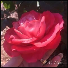 Sugar rose (Lisa Templeton) Tags: sugarflower sugar gumpasteflower gumpaste sugarrose sugarcraft pettinice ilovepettinice teacher