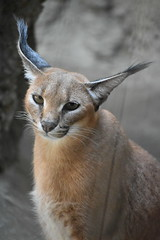 eriezoogrp2DSC_0143 (lwolfartist) Tags: caracal cat feline mammal animal nature photo