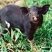 Black pig, Malampa Province, Malekula Island, Vanuatu