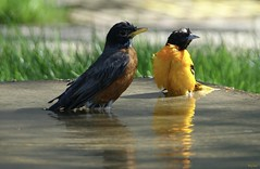 Hey, Check That Out (Harry Lipson) Tags: robin oriole baltimoreoriole birds feathers birdbath swimming cooling relaxing tubbing harrylipson harrylipsoniii