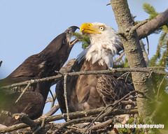Bald Eagle and Eaglet discussion Canon 5DSR (Mike Black photography) Tags: bald eagle bird eaglet nature sky canon 5dsr 800mm lens body usm l big year birdwatching nj new jersey shore mike black july 2017