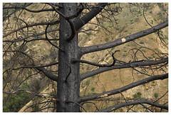 ANF_0231.1 (Thomas Willard) Tags: california chaparral foothills tree fire burn pine coniferous conifer cone evergreen wilderness duarte