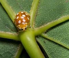 Orange Ladybird (hemlockwood1) Tags: ladybird bug insect orange sycamore spots red olympus macro
