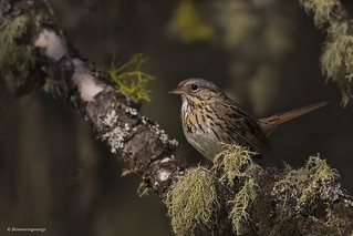 Lincoln's Sparrow | Bruant de Lincoln