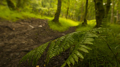 cycle track-2 (grahamrobb888) Tags: nikon nikond800 sigma20mmf18 sigma birnamwood perthshire scotland track mud fern trees tree pathway path footpath cycletrack
