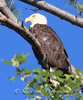 IMG_7141 3baldeaglecopygr (Sally Knox Sakshaug) Tags: ourdoors nature wildlife bald eagle symbole americal usa perched tree looking up closeup majestic adult brown white eye beak golden