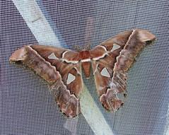 mariposa atlas (violetacavalcanti) Tags: mariposa attacus atlas lepidoptera insect