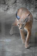 eriezoogrp2DSC_0094 (lwolfartist) Tags: caracal cat feline mammal animal nature photo