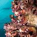 Swimmer above ascidians #marineexplorer