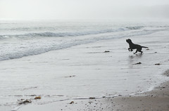 The smell of the sea (Wilamoyo) Tags: northwales beach dog play canine fog mist sea seaside wind smell odour runnning silhuette water waves tide paddle ocean pet