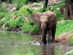 Afrika Olifant / African elephant (Bruwer Burger.) Tags: afrika olifant african elephant coth5