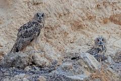 Young Eurasian eagle-owls (Dave 5533) Tags: eurasianeagleowl owl owls animal wild nature bird birds birdofprey canoneos1dx sigma150600mmf563dgoshsm nopeople naturephotography wildlife inexplore coth coth5 alittlebeauty