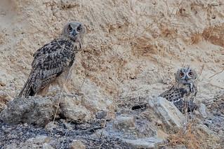 Young Eurasian eagle-owls
