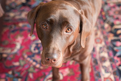 Maggie (Inkmell) Tags: labrador lab cute cutie dog dogs adorable pet pets canon purple brown animal animals fur eyes