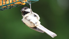 Hanging Out (blazer8696) Tags: 2017 brookfield ct connecticut ecw obtusehill t2017 table usa unitedstates atricapillus bcch black blackcapped blackcappedchickadee capped chickadee img3438 paridae passeriformes poeatr poecile poecileatricapillus