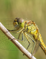Libelle dragonfly
