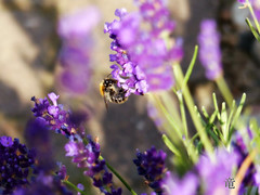 bee on lavender (Ola 竜) Tags: lavender bee insect animal pollination macro purple flowers nature dof bokeh sunny pollinating violet lila flower green stems