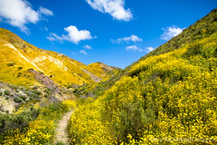 Flower Covered Hillsides in a Temblor Range caynon, Carrizo Plai (Gary Rides Bikes) Tags: california carrizoplain carrizoplainnationalmonument northamerica sanluisobispocounty springtime temblorrange usa adventure beautyinnature canyon footpath goldcolored idyllic inbloom landscape nature nopeople plain remote scenicsnature vibrantcolor yellow