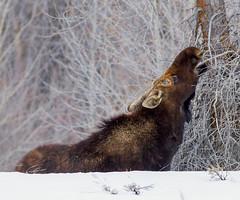 IMG_7767 Moose (cmsheehyjr) Tags: cmsheehy colemansheehy nature wildlife moose bullmoose grandtetonnationalpark wyoming snow winter