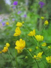 Buttercup (livsillusjoner) Tags: flowers norway norge flower yellow gul gult green grønn grønt nature