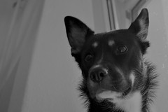 Fili - Expectations (mikros.anthropos) Tags: fili dog hund crossbreed mix mutt mischling tier animal husky australianshepherd bordercollie hollandseherder nikond3300 portrait monochrome monochrom indoor