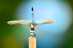 Dragonfly (deanrr) Tags: dragonfly morgancountyalabama alabama nature summer 2017 outdoor insect malebluedasher bluedasher