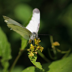 Cabbage Butterfly (Johnnie Shene Photography(Thanks, 2Million+ Views)) Tags: cabbagebutterfly pierisrapae pieris commonbutterfly whitebutterfly butterfly nature natural wild wildlife livingorganism tranquility adjustment fulllength depthoffield bokeh korea asia square interesting awe wonder feeding frontview photography outdoor colourimage fragility freshness nopeople foregroundfocus wings limbs animal insect bug macro closeup magnified flower plant animalandplant vivid sharpness feeler head portrait peace lighteffect canon eos80d 80d tamron 90mm f28 11 lens 배추흰나비 흰나비 나비 곤충 접사 매크로