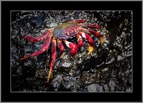 Rote Klippenkrabbe(Red Clip Crab)