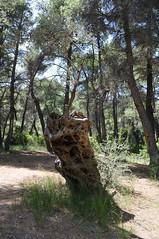 Αρχαία ελιά - ancient olive tree (st.delis) Tags: ελιά δάσοσ πάρνηθα αττική ελλάδα ελληνικήχλωρίδα olivetree forest parnitha attica hellas greekflora