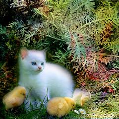 Friends in the garden (jaci XIII) Tags: jardim planta gato animal ave pintinhos garden plant cat bird chicks