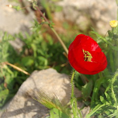 Red on ruins (Delphi, Greece) (armxesde) Tags: pentax k3 ricoh griechenland greece delphi ruins ruinen mohn poppy red rot