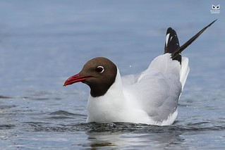Black-headed gull(Chroicocephalus ridibundus)