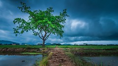 Alone in the Storm (=Heo Ngốc=) Tags: sky storms threats shake power thunderstorm weather wind windy trees cloudscape clouds nature gray landscape viet fields alone tree nobody drama