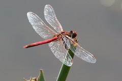 Red-veined Darter ~ Sympetrum fonscolombii ~ Kelling Water Meadows (23) (Rowettia) Tags: norfolk kelling dragonflies odonata uk redveineddarter sympetrumfonscolombii