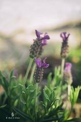 Cantueso (Elena Alonso de Armiño) Tags: cantueso lavanda flor morado