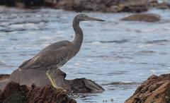 Pacific reef heron (Egretta sacra)-3263 (rawshorty) Tags: rawshorty birds canberra australia nsw portmacquarie