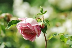 Rose Jubilee Celebration (mamietherese1) Tags: world100f phvalue earthmarvels50earthfaves fabuleuse
