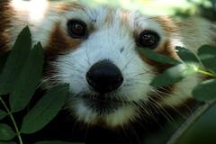 Hi !     :)) (carlo612001) Tags: panda pandaminore redpanda animals nature animali natura