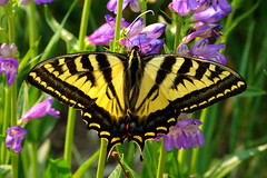 Western Tiger Swallowtail (Papilio rutulus).  Sandia Mountains, New Mexico, USA. (cbrozek21) Tags: westerntigerswallowtail papiliorutulus sandiamountains newmexico butterfly insect animal nature pentaxart