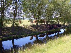 An English heatwave (mira66) Tags: river cows reflection heatwave