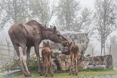 Moose love (CecilieSonstebyPhotography) Tags: bokeh calf moose canon licking animal norway trees markiii june love langedrag mother canon5dmarkiii female calves fog ef100400mmf4556lisiiusm rocks closeup caring specanimal ngc npc