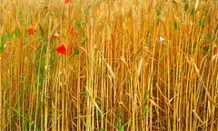 * Il grano è maturo  *  The wheat is ripe  * (argia world 1) Tags: campo campodigrano granomaturo ricordi field wheatfield ripewheat memories paesaggiocampestre countrysidelandscape