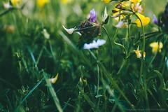 Curiosité (Adeline Morel Photographie) Tags: thyez nature été tiges fleurs herbe courbes