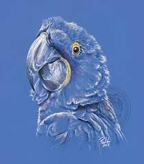 Pirate Not Included (Paul-M-W) Tags: parrot bird blue pastel pastelpencil conte art drawing sketch animal nature hyacinthmacaw hyacinth macaw