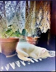 (stellablue61) Tags: windowsill whitecat cat