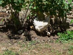 Tout le monde veut sa place... (Grand-Pappà...) Tags: poules poussins poulailler hen ferme farm lobeç margeride marjarida massifcentral hauteloire hautesterres humour soleil ombre solelh sol auvergne