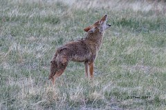 IMG_3999 coyotes a singing... (starc283) Tags: starc283 canon canon7d colorado coyote wildlife nature naturesfinest flickr flicker