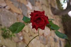 Rosas (esta_ahi) Tags: priorat ulldemolins tarragona spain españa испания santamagdalena rosa rosal rosaceae flor flora flores cultivadas