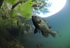 Bluegill on the Prowl (Fish as art) Tags: sunfish panfish bluegill fish fisheries nature naturallight paulvecseiphotography canadianfishes angling